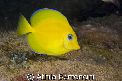 A young &quot;Blue&quot; tang surgeonfish (Acanthurus coeruleus) al... by Athila Bertoncini 